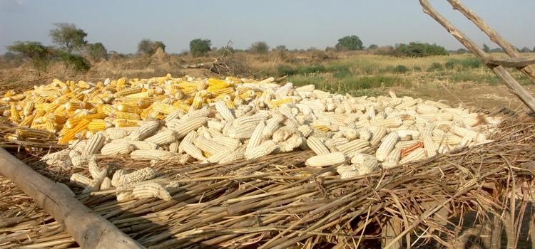 Vinculação dos pequenos agricultores às cadeias de valor de agronegócio